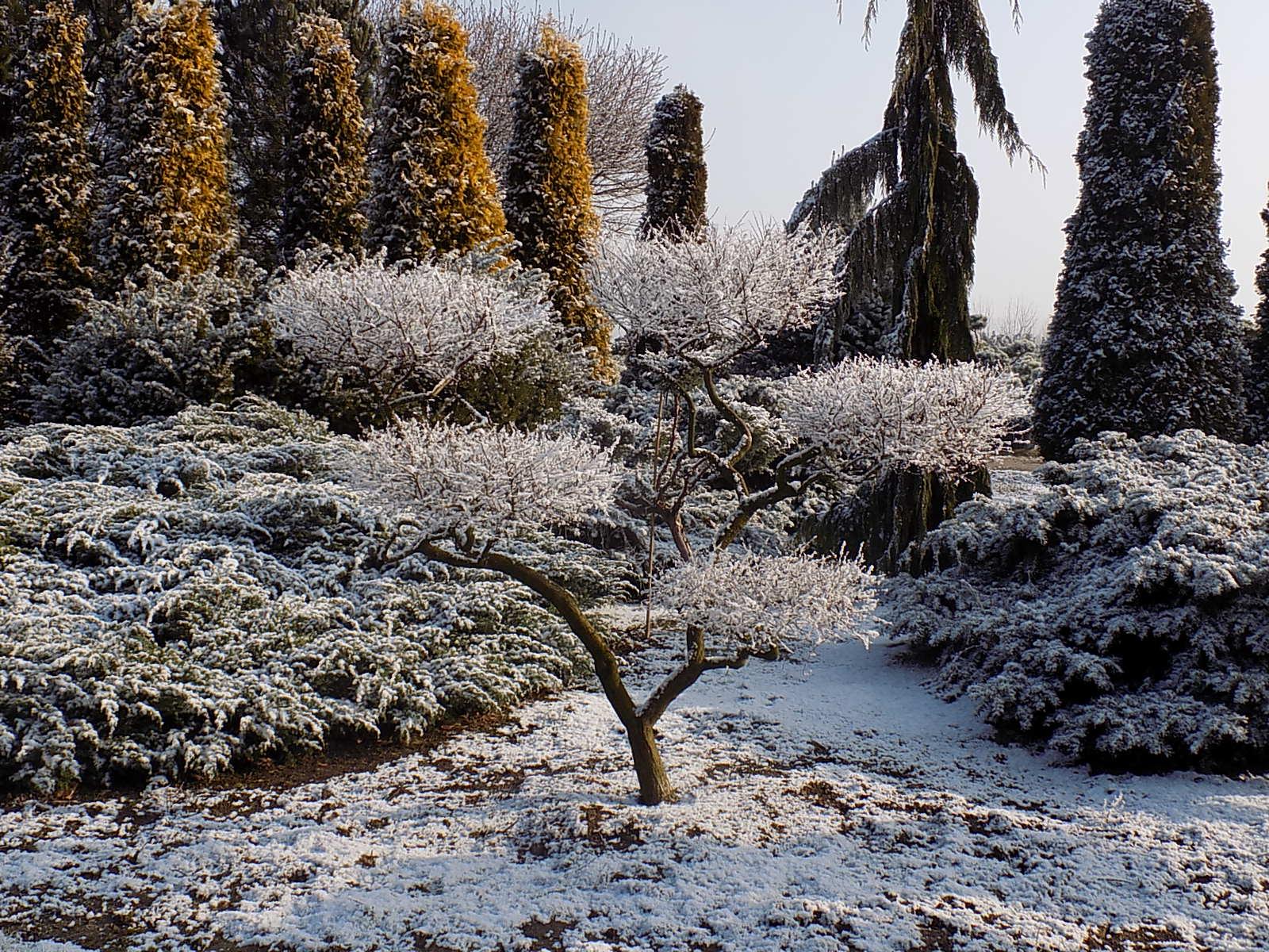Niwaki zimą