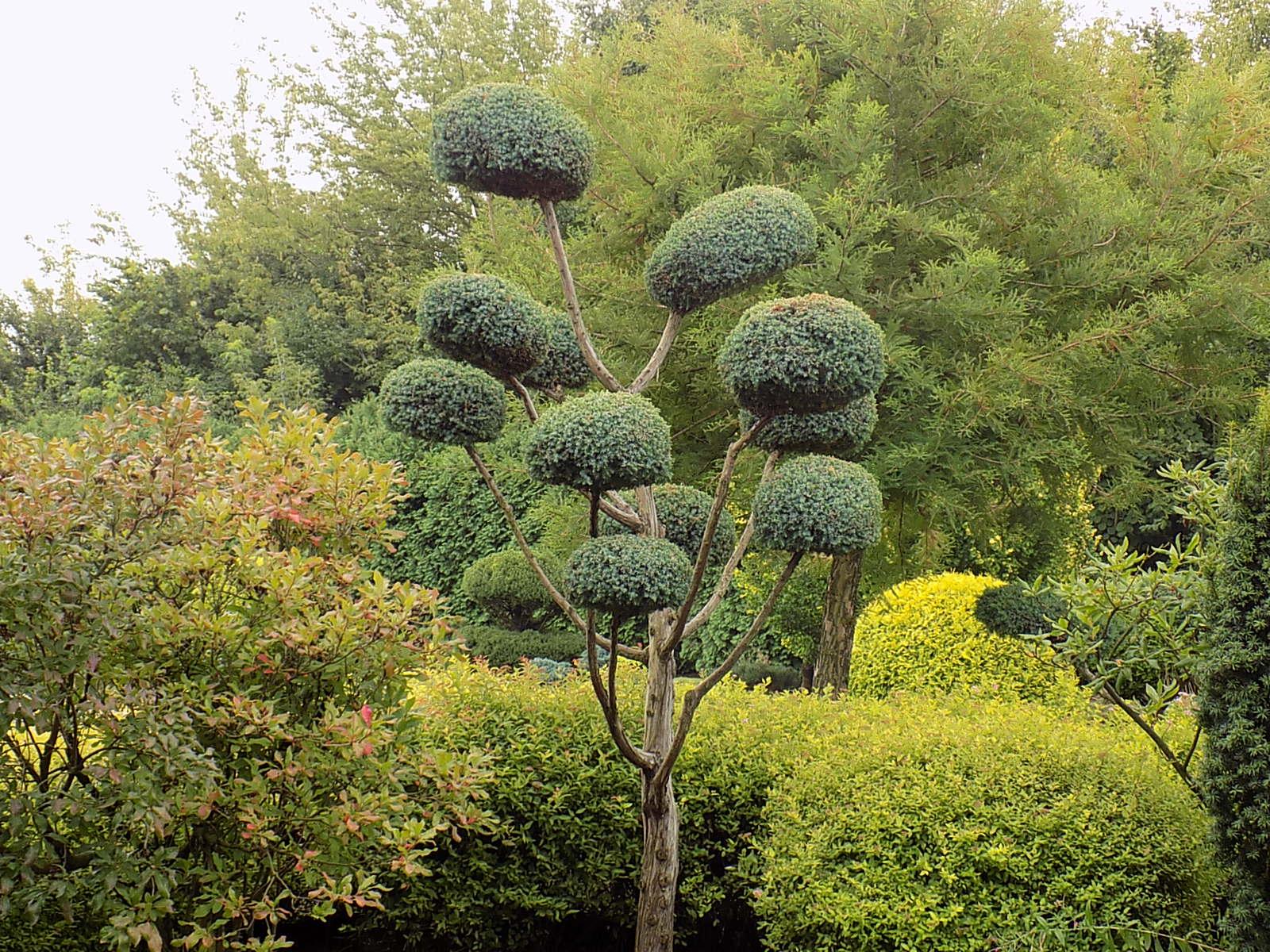 Juniperus dendroart - Juniperus squamata blue carpet ...